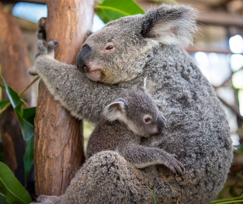 baby koala at rainforestation kuranda