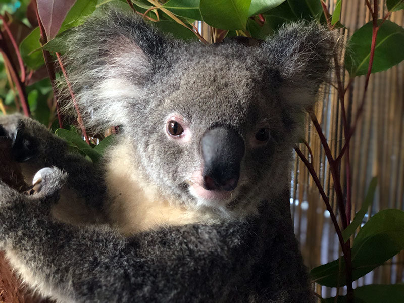 kara the koala at rainforestation kuranda cairns cutest australian animals